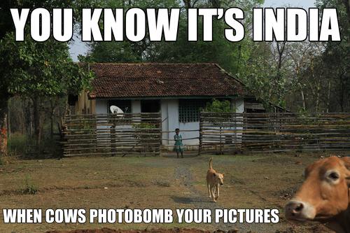 Cowsphotobomb