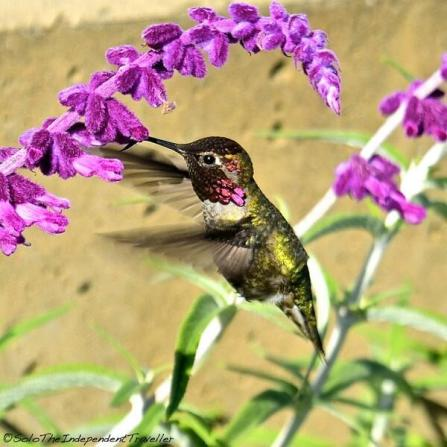 Though she lives in Australia, @123_ALLONS_Y took this lovely hummingbird shot in San Francisco, CA of all places! http://t.co/WKq2oNTQiW