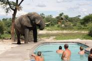 Jodi (@AlpineResort) of Canada caught this wild elephant near--VERY near--a swimming pool in Botswana. You'd think the mood would be one of chaos and fear, but these people appear either calm or extremely surprised: pic.twitter.com/xoX58e4fOT