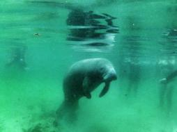 Andrea Rees (@wanderingiphone) wants to see animals wild and free, as seen with this snorkeling experience in Florida: https://twitter.com/wanderingiphone/status/562345203479359488/photo/1