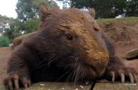 We talk about wombats a lot, but few get to see them up close! Thanks for this, Dorothee (@DoroLef) of Germany: https://twitter.com/DoroLef/status/501458028022235137/photo/1
