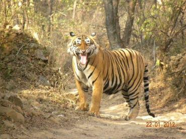 Kanishka (@kp1200) of India got lucky--and happy--when he came upon his favorite tiger-in-the-wild moment. Is the tiger smiling too? pic.twitter.com/HLYpeZst8y
