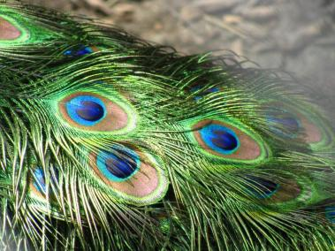 India is famous for peacock's, so it makes sense that Preshit Shah (@Searchofnirvana) of India got up close to see their beautiful feathers: pic.twitter.com/K99UB6g2Xo