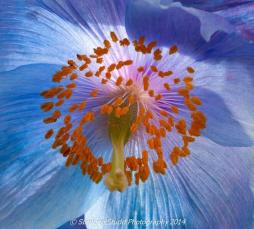 Co-host Stephen Studd (@StephensPhotos) of the UK got up close and personal with a beautiful Himalayan poppy: pic.twitter.com/00ZYZ0YPmu