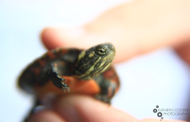 A baby painted turtle from the countryside