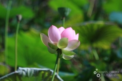 A lotus flower in al its glory