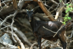 Wild goat--and a fantastic expression