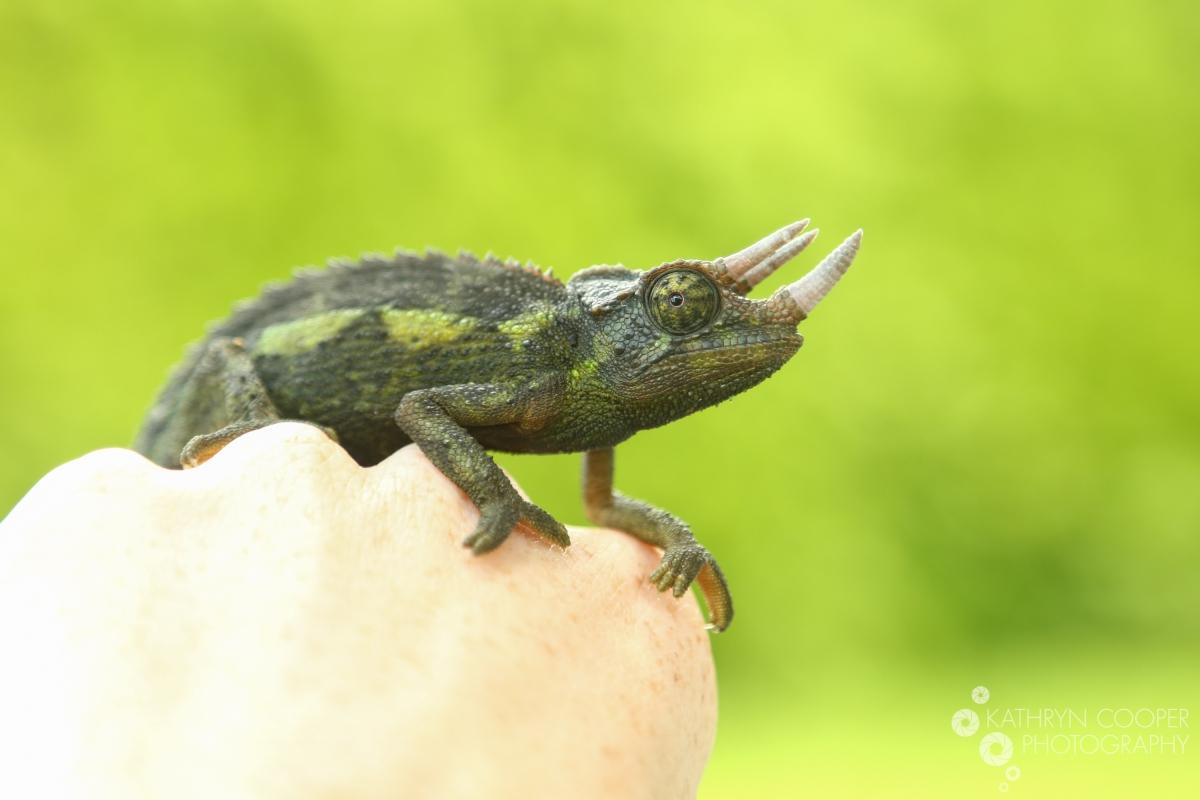 baby chameleon in my backyard big island